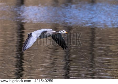 The Bar-headed Goose Flying Over A Lake At Munich. Anser Indicus Breeds In Central Asia In Colonies