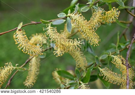 Salix Triandra. Willow Male Flowers. Willows Are Dioecious Plants, With Male And Female Flowers Appe