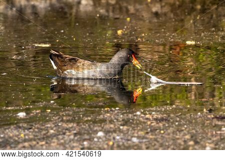 The Common Moorhen Gallinula Chloropus Also Known As The Waterhen, The Swamp Chicken, And As The Com