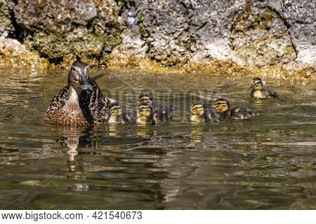 Wild Duck Or Mallard, Anas Platyrhynchos Family With Young Goslings At A Lake In Munich, Germany.the