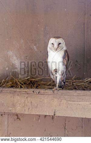 Barn Owl In A Cage. Keeping Birds Of Prey In Captivity.