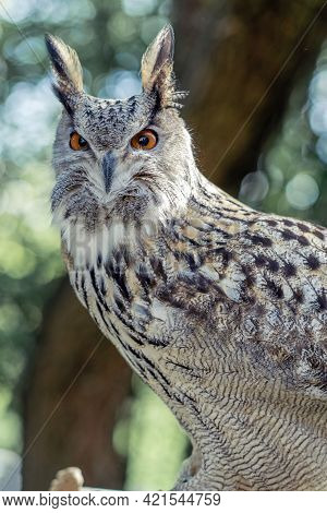 Close-up Of An Owl Sitting On A Leash In Captivity