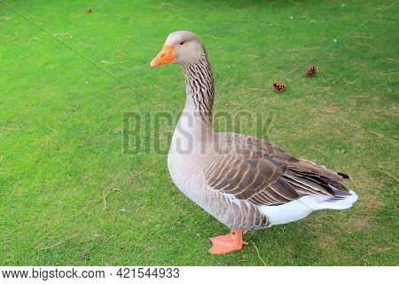 Beautiful Gray Geese, Perigord Geese Walk On Green Lawn In Summer On Traditional Goose Farm. Goose M