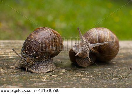 Garden Snails On A Wooden Background. Snails After The Rain