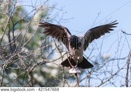Birds Hooded Crow Corvus Cornix. With Open Wings, Holding Lard In His Paws