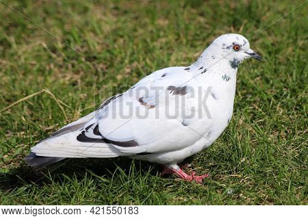 A Common Pigeon - Columba Livia - With Partially White And Ash-red Plumage Color Variation On A Gras