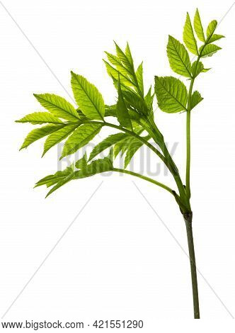 Botanical Element For Marketing Cosmetics Spa Or Beauty Care Products. Elderberry Leaf. Spring Green
