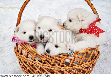 Four White Puppies In A Basket. Breeding Dogs Breed Japanese Spitz.
