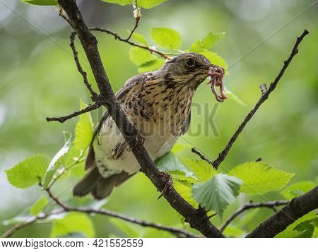 Fieldfare Collects Worms For Its Chicks. Fieldfare, Turdus Pilaris. Bird Sits On Branch With Beak Fu