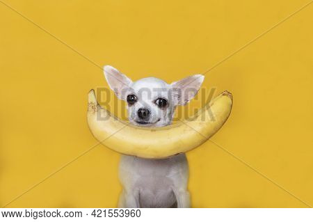 A White Chihuahua Dog Sitting Against A Yellow Banner Background Is Looking Closely At The Camera Ov