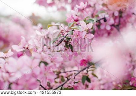 Beautiful Blooming Paradise Apple Tree. Beautiful Pink Flowers Of Blooming Decorative Apple Tree. Fl