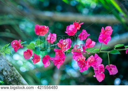 Pink Purple Bougainvillea Spectabilis, With Large Colourful Sepal-like Bracts Surrounding Three Simp