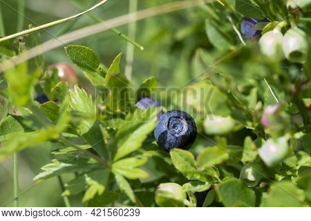 Wild Blueberries In Various Stages Of Ripening. Vaccinium Myrtillus Or Bilberry In The Bush Growing