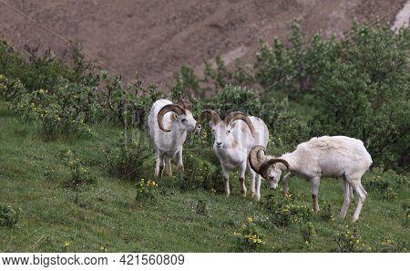 Dall Sheep Trio In Denali Alaska In Spring