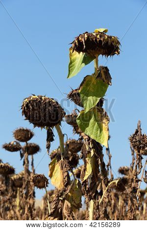 Ripened sunflowers ready for harvesting for their seeds