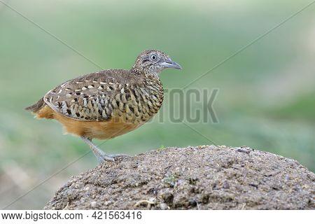 Barred Buttonquail Or Common Bustard-quail (turnix Suscitator) Common Ground Living Bird In Thailand