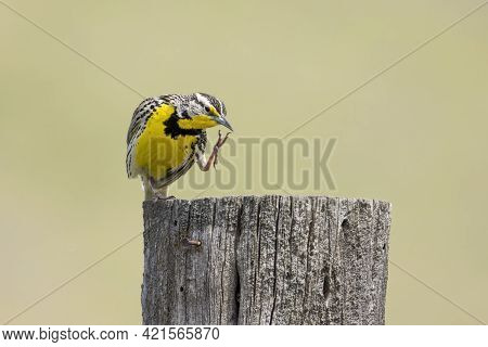 A Western Meadowlark Scratches Itself At The National Elk And Bison Range In Western Montana.