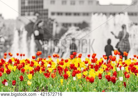 Color, Colorful, Red, Yellow And White Tulips Grow In A Flower Bed In A City Park On A Black And Whi