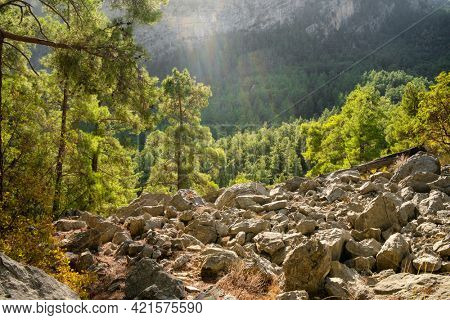 Beautiful pine forest with backlight in mountains. Forest landscape in early morning in mountains