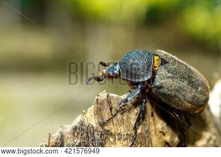 Beetle In Tangkoko Rainforest. Rhinoceros Beetle, Rhino Beetle, Hercules Beetle, Horn Beetle Female.