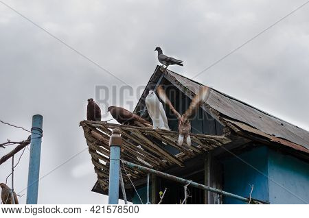 Beautiful Ornamental Pigeons On The Background Of The Overcast Sky. White And Brown Thoroughbred Bir