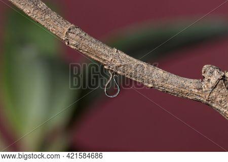Geometrid Caterpillar Walking On A Dry Branch Stock Photo