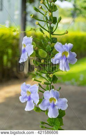 Bengal Trumpet Flower, Beautiful Blue Bengal Trumpet Flower