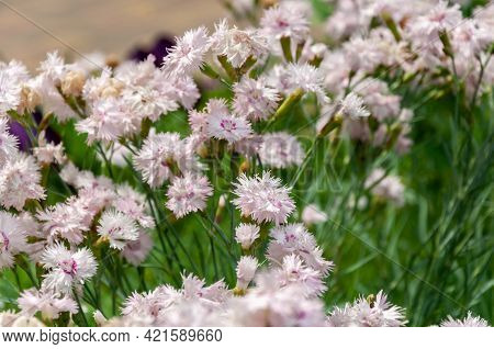 Carnation Pinnate. The Beautiful Pinnate Carnation Is An Unpretentious And Fairly Hardy Perennial. I