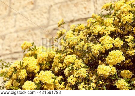 Bushes Of Yellow Flowers On The Stone Wall For The Background (selective Focus)