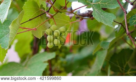 Ripe Sauvignon Blanc Grapes Hanging On Vine In Vineyard At Harvest Time. Branch Of Grapes Ready For