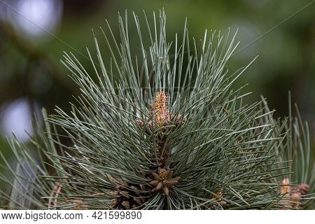 Blooming Pine Tree In The Forest In Spring