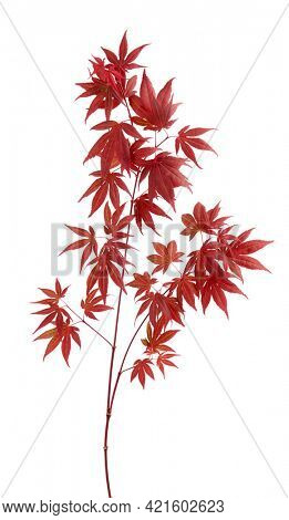 Japanese maple tree Acer palmatum with dark red leaves isolated on white background
