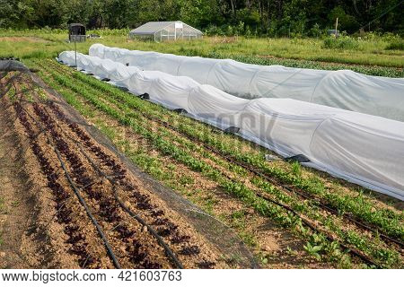 Long Healthy Rows Of Vegetables On An Organic Farm, White Garden Fabric Row Covers, And Colorful Pro