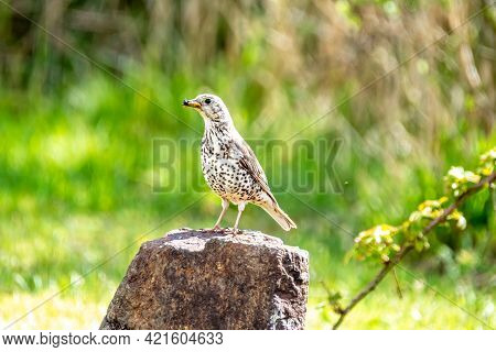 Song Thrush, Turdus Philomelos, Visiting A Garden In Ireland