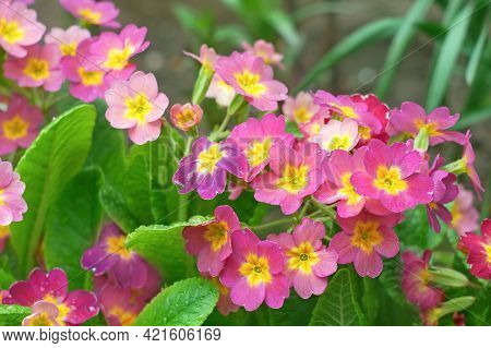 Pink And Yellow Primula Plants  With Water Drops After The Rain Flowering On Flower Bed In Springtim