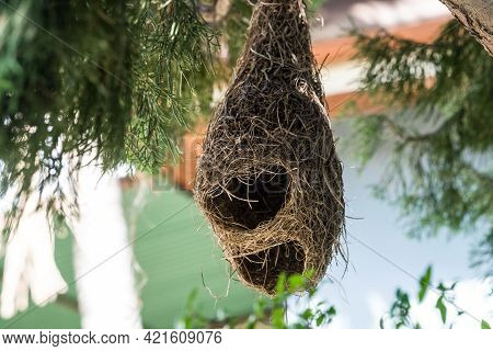 Nest Of Finch Birds Nest Hanging On The Tree