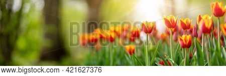 Tulips In Flower Beds In The Park In Spring