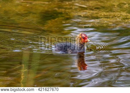 Swimming Coot Chick With The Red-yellow Colored Bird's Head That Is Characteristic Of The Coot Chick
