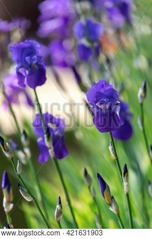 Blue Iris Flowers In Spring Garden (focus On A Blossoming Bud) Vertical Photo