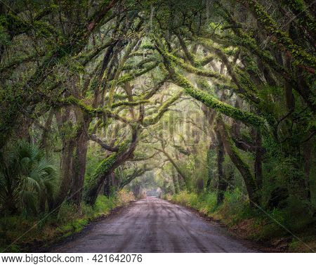 Ethereal Spanish-moss Covered Oak Tree Branches Forming A Tunnel Over A Dirt Road In The Southeast