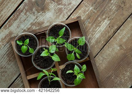 Young sprouts of bell pepper in pots on grunge wooden background