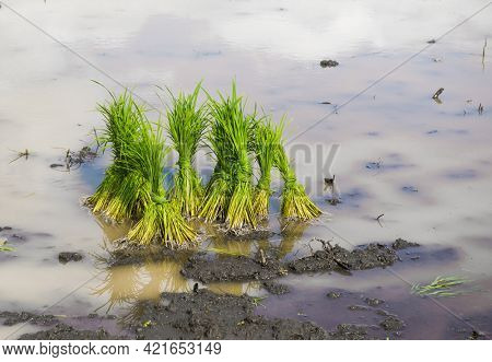 Rice saplings ready for transplantation in the rice paddy field. Preparation of rice cultivation in the farm during monsoon.