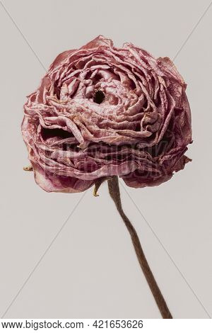 Dried pink buttercup flower on a gray background