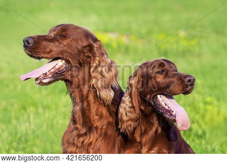 Drooling Pet Dogs Panting In The Grass In Summer