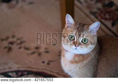 British Female Cat Of Golden Chinchilla Color In A Sitting Position