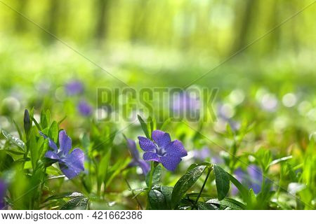 Blue Flowers Periwinkle In The Dew In Forest In A Spring Morning On Background Blur Forest