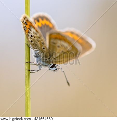Butterfly Silver-studded Blue (plebejus Argus) Perched In The Sun On Grass Stem In Heathland Habitat