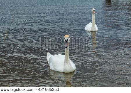 White Swans Swim In The Reservoir Of The Reserve. Swans With Orange Markings On Their Heads. Bird Pa