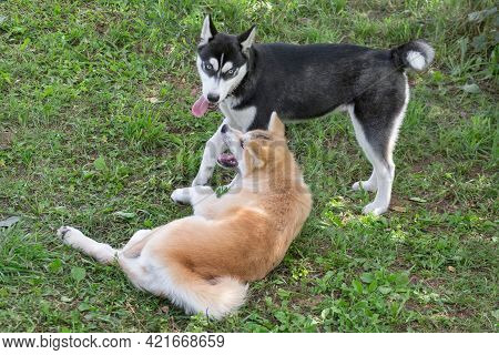 Border Collie Puppy And Akita Inu Puppy Are Playing On A Green Grass In The Summer Park. Four Month