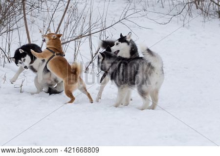 Shiba Inu Puppy And Three Siberian Husky Puppies Are Playing In The Winter Park. Pet Animals. Purebr